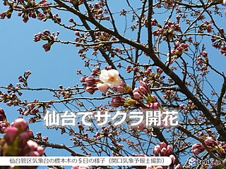 みちのくにも春の便り 仙台と福島でサクラ開花