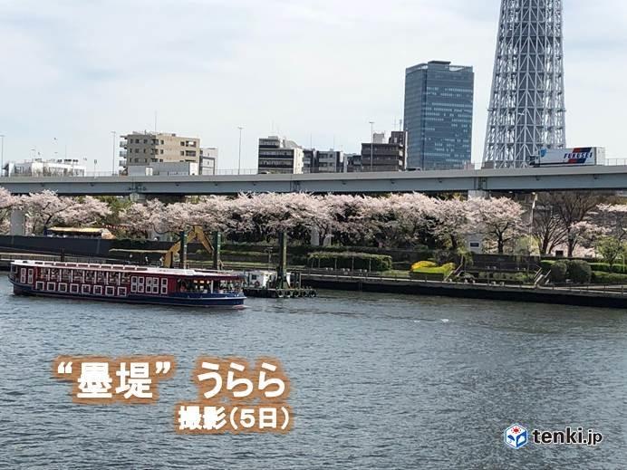 関東6日 満開に向かう桜 散りゆく桜_画像