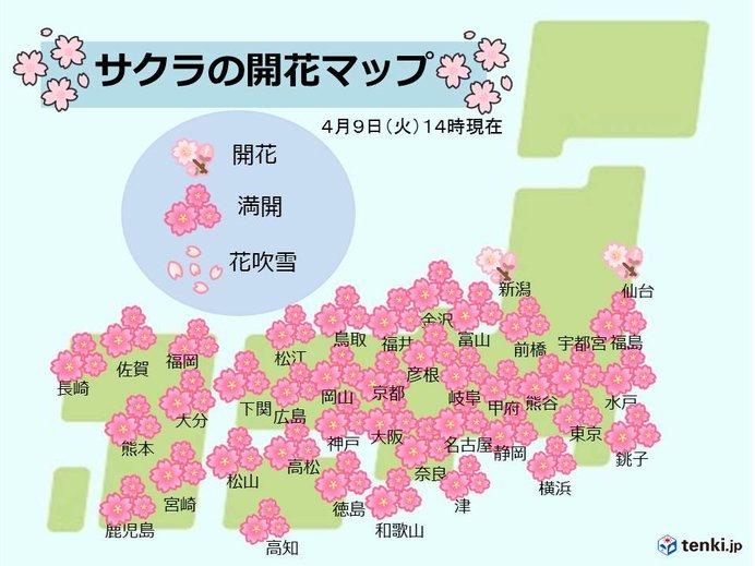 鹿児島の桜 ようやく満開に 開花から15日