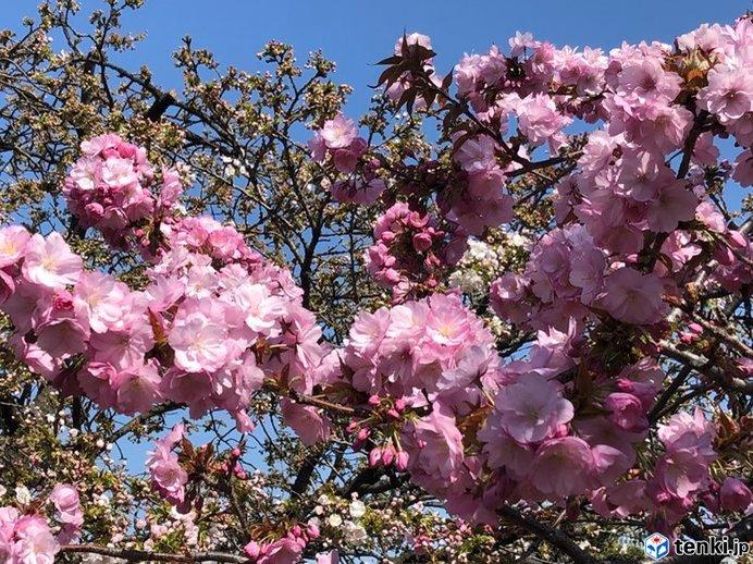 桜の通り抜け期間中の天気