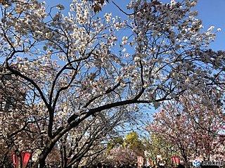 近畿 大阪造幣局「桜の通り抜け」はじまりました