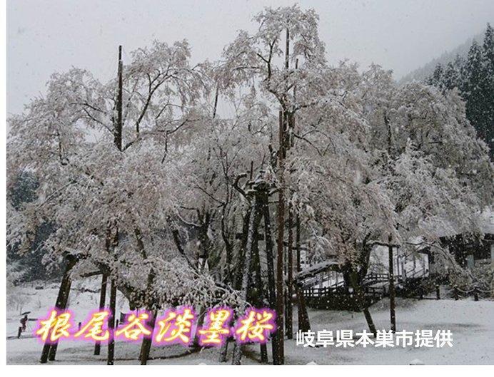 日本三大桜 きょうの表情(根尾谷淡墨桜)