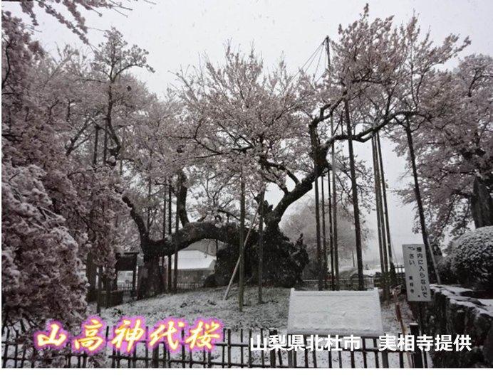 日本三大桜 きょうの表情(山高神代桜)