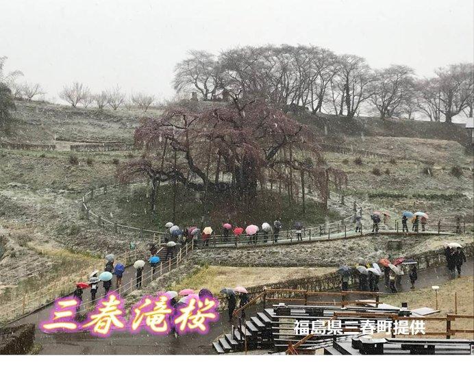 日本三大桜 きょうの表情(三春滝桜)