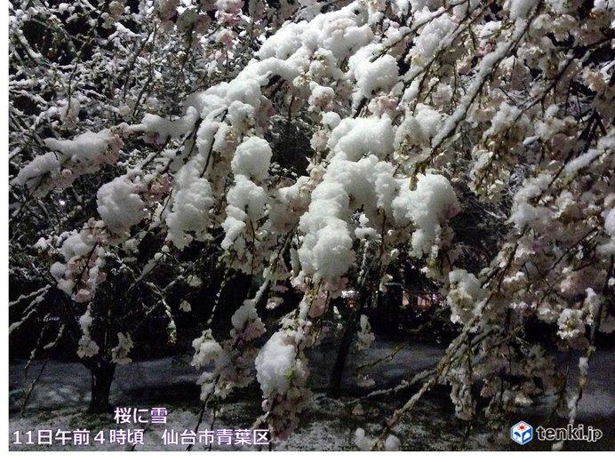 雪雲は東北へ 仙台と福島 満開後の桜に雪