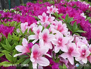 近畿地方 春の花の開花が早い