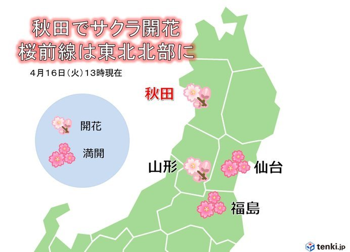 秋田でサクラ開花 桜前線は東北北部に