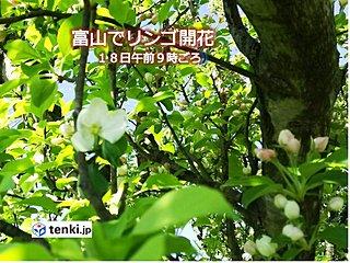 富山でリンゴの花ほころぶ
