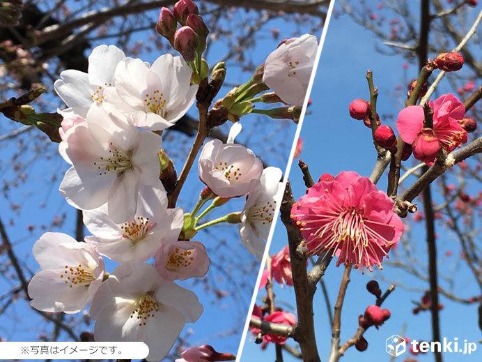 桜前線が梅前線に追いついた 青森で2年連続