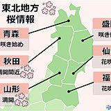 満開の桜 お花見は東北地方へ