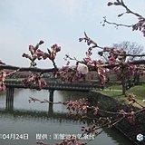 北海道 函館と札幌 初夏の陽気でサクラ開花!