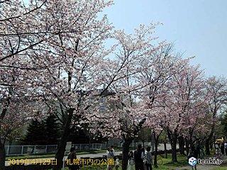 札幌サクラ満開 平成はサクラの時季早まった!?