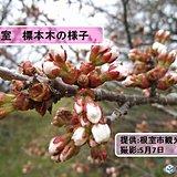 北海道 桜前線ゴール間近