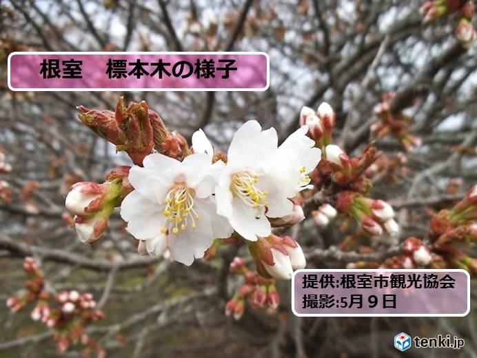 北海道 根室でサクラ開花!残すは釧路のみ