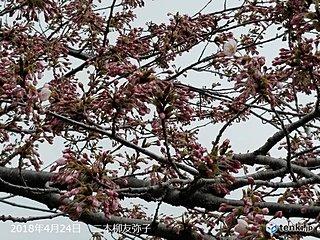 北海道 いよいよ道南の桜もカウントダウン