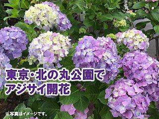 雨を彩る 東京・北の丸公園でアジサイ(真の花)開花