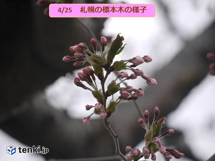 札幌の開花ももう間もなく!