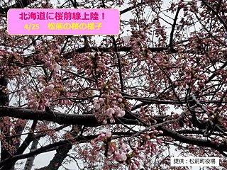 北海道 ついに!桜前線上陸!