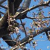 札幌 サクラの開花を観測!