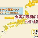 イチョウ黄葉 札幌と金沢 全国一は珍しい