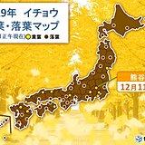 熊谷でイチョウ黄葉 週末にかけて晴れて紅葉楽しめる