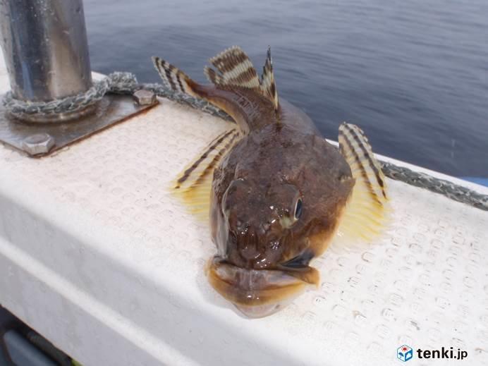 北海道 5月の日本海で船釣り_画像