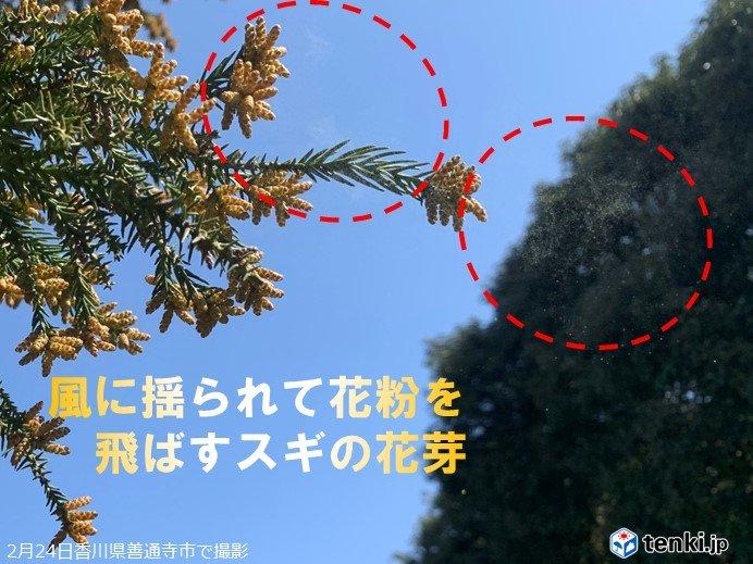 四国 花粉、飛んでいます