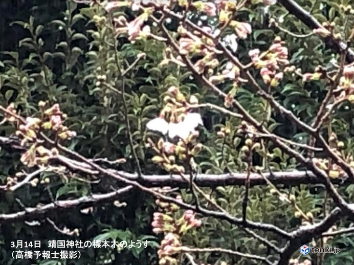 東京で桜開花 過去最も早く 今年全国トップ