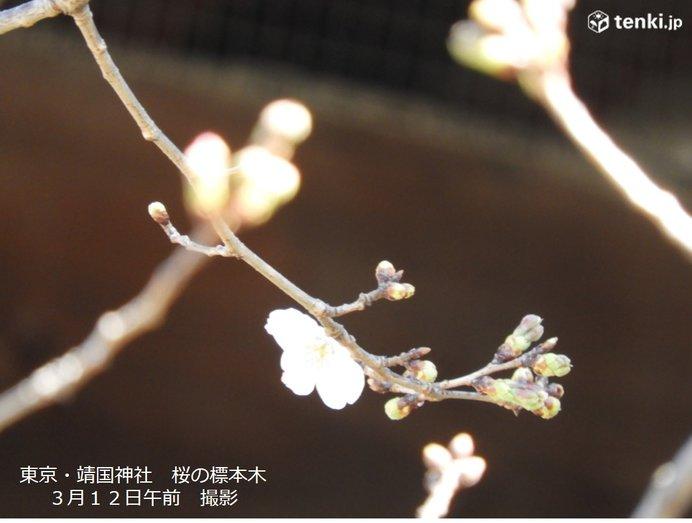 東京の桜 まもなく開花発表か すでに1輪咲きました