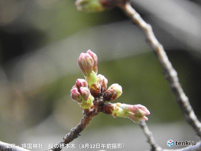 いよいよ桜開花となるか