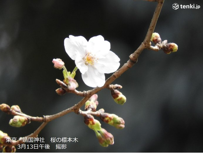 13日 東京の桜は「開花」目前
