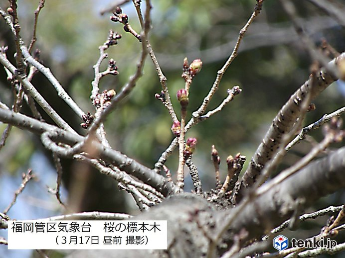 桜のつぼみも暖かさに誘われて