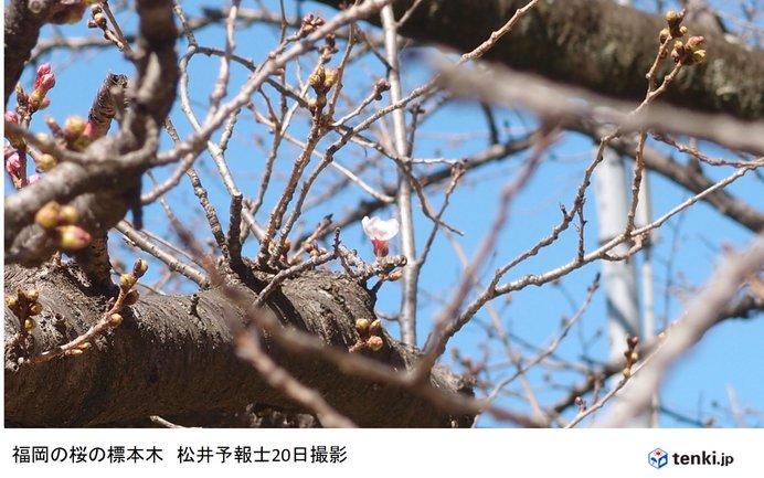 福岡で桜開花 平年より2日早く