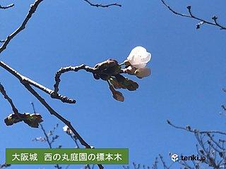 関西 大阪でさくら開花