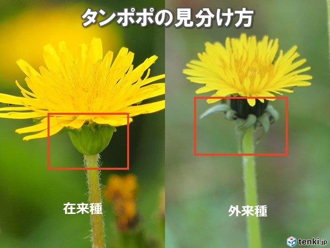 タンポポの観測対象は「在来種」 在来種と外来種ってどう見分けるの?