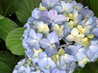 アジサイの季節到来 観測は真の花