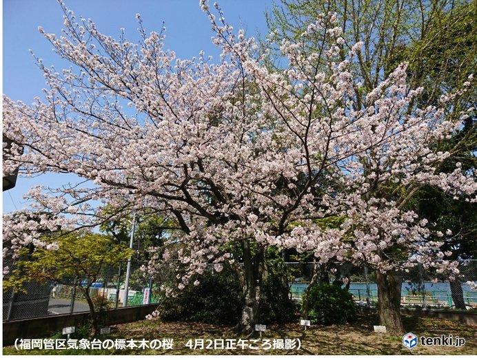 福岡市 ようやく桜満開