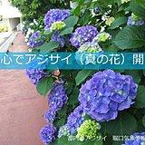 色鮮やか 都心でアジサイ(真の花)開花