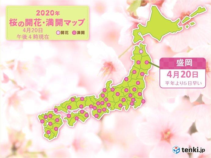 雨ニモマケズ 盛岡で桜満開 平年より5日早く