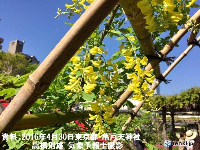 ノダフジ前線は順調 新緑の季節_画像