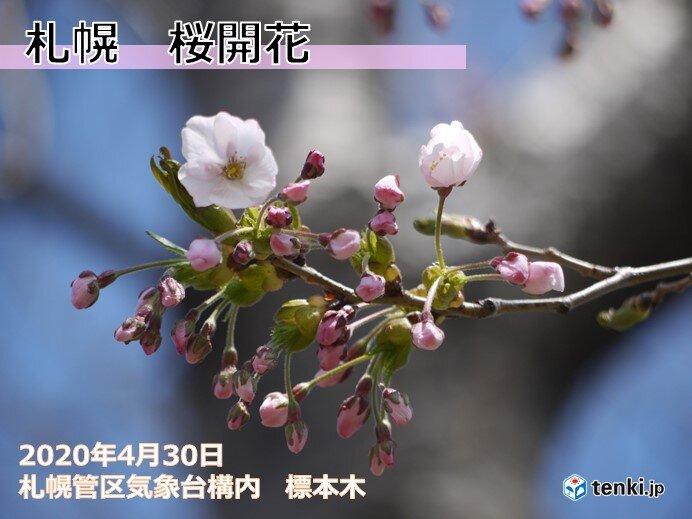 北海道 札幌で桜開花