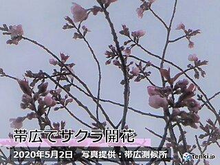 北海道 帯広でエゾヤマザクラ開花