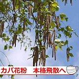 北海道 シラカバ花粉の季節