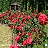 東北 今週はバラの花 見ごろ