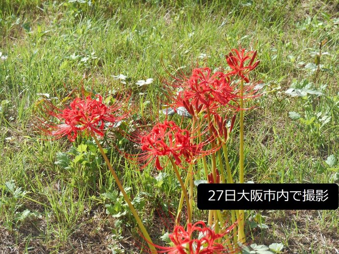 関西 ヒガンバナが見ごろの近畿地方 今週の天気は?