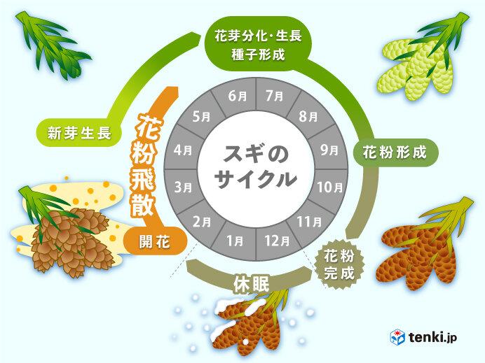 5.スギ花粉のライフサイクル