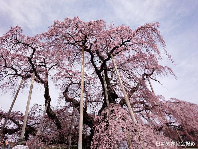 三春滝桜:見上げると・・・(2016年の様子)