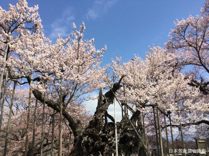 山高神代桜:全景(2016年の様子)