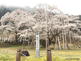 根尾谷淡墨桜【岐阜県】