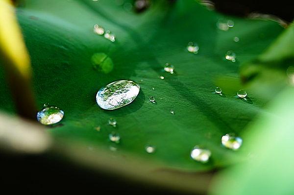 葉の上を水滴がコロコロ落ちる。
